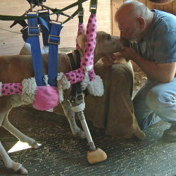 Lennie Green of Double E Equine Rescue nuzzles 8-week old Angel, a miniature horse whose right front leg was amputated and replaced by a prosthesis.