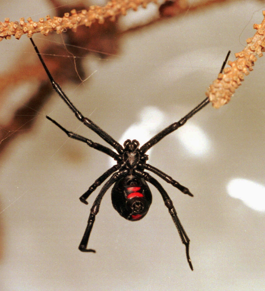 The black widow spider, predominantly found in the southern and western United States, has a shiny black body and a red hourglass shape on its underside.