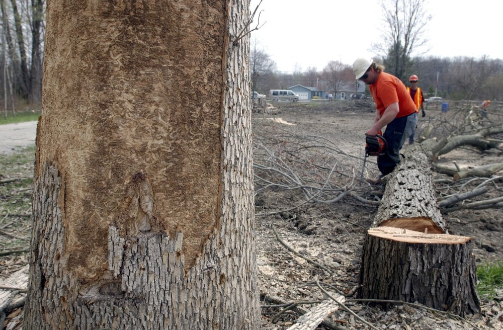 Ash trees like this one near Whitehouse, Ohio, are often cut down when an emerald ash borer infestation is discovered. Sometimes trees are stripped of their bark to attract the beetles, then are cut down to check for the pests.