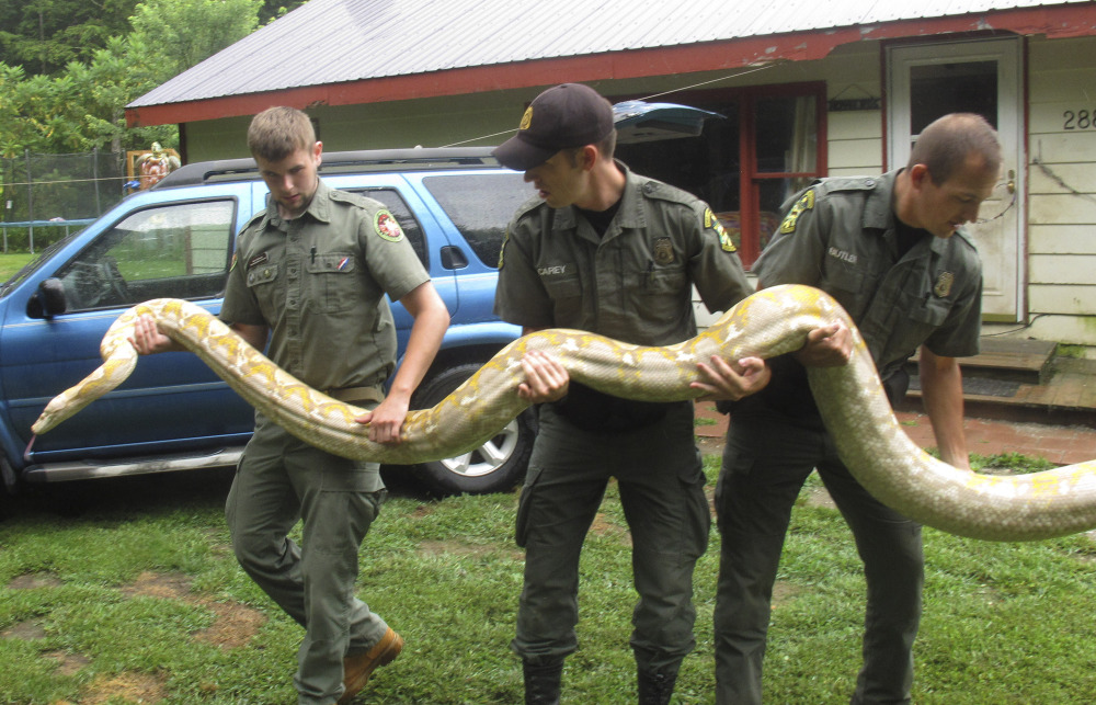 Mack Ralbovsky, left, of the Rainforest Reptile Shows, gets assistance from Vermont game wardens Tim Carey, center, and Wes Butler as they remove a reticulated python, between 17 and 18 feet long, from the home of Pat Howard on Tuesday in North Clarendon, Vt.