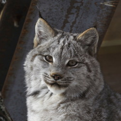 Tracking surveys from last winter indicate that Maine's Canada lynx population is expanding to the west and east while remaining stable in its core northern Maine range.