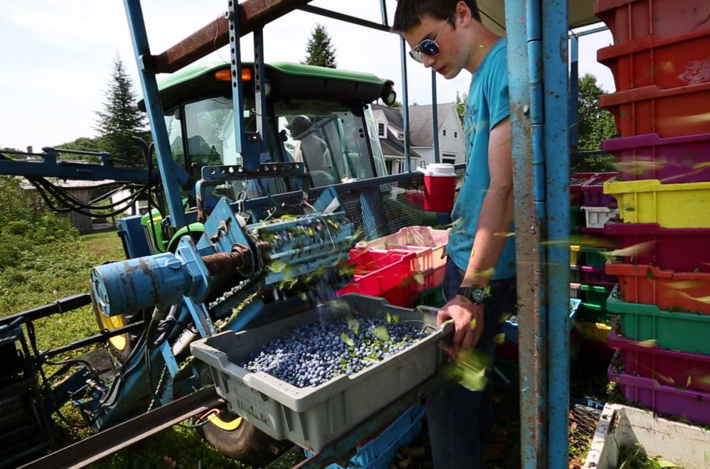 Blueberries fill a tray on a mechanical harvester near Appleton, Maine. Mechanization is slowly ending Maine farmers' reliance on migrant labor for the state's beloved blueberry harvest. It means the end of a way of life in rural Maine, where people have come from Mexico and Haiti for generations to work in fields.
