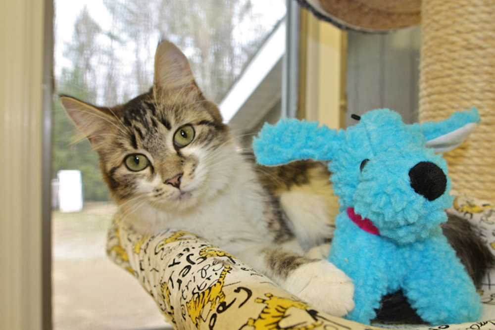 Adult cats, like this one, are available Saturday at the Franklin County Animal Shelter's Empty the Shelter event.