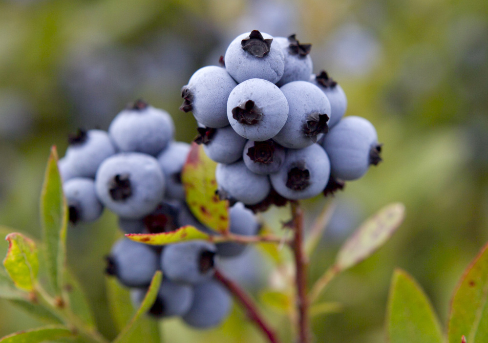 Maine's blueberry season was average to below average  in 2015. University of Maine scientists said the cold spring and dry summer conspired to knock the harvest down from 104 million pounds last year to about 85 to 90 pounds this year.