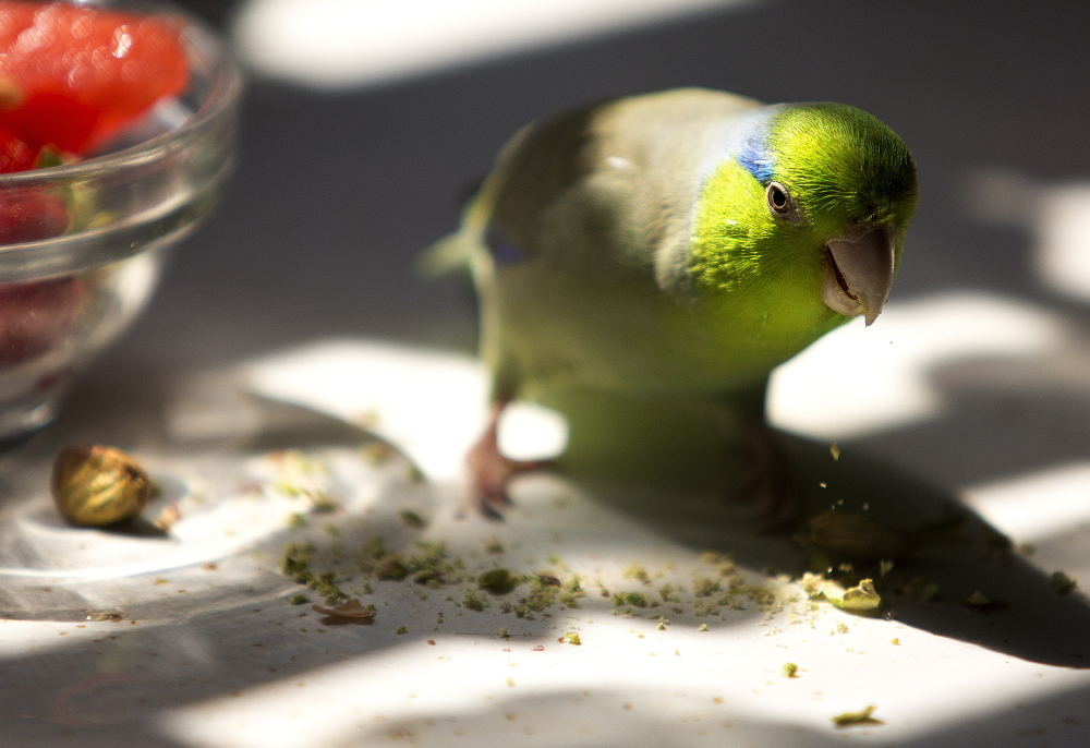 Basel the parrotlet eats a pistachio in Aimee Kudlak's kitchen. During his two-week flight of fancy in the outdoors he landed on people's heads and dove into a swimming pool.