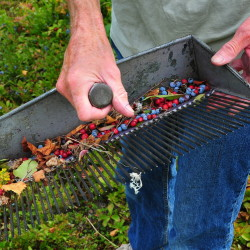 Ellen Johnson displays the rake she uses to harvest lingonberries (and some stray blueberries) at her Lamb Cove Farm in Robbinston.