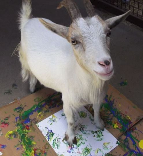 Maggie, a Nigerian dwarf goat, put her best feet forward for the fundraiser.