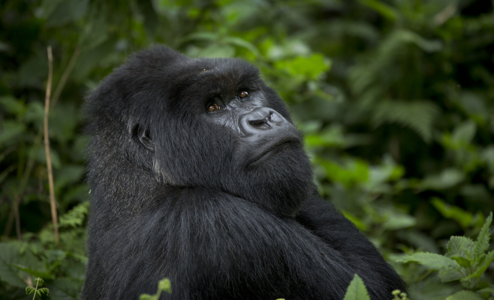 A male silverback mountain gorilla sits in the dense forest on the slopes of Mount Bisoke volcano in Volcanoes National Park in northern Rwanda. Deep in Rwanda's steep-sloped forest, increasing numbers of tourists are heading to see the mountain gorillas, a subspecies whose total population is an estimated 900 and who also live in neighboring Uganda and Congo.