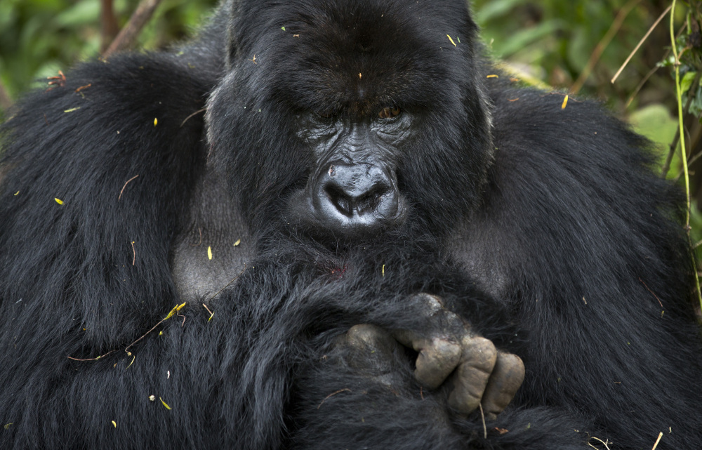 "This male silverback gorilla belongs to the the family of mountain gorillas named Amahoro, which means ""peace"" in the Rwandan language."