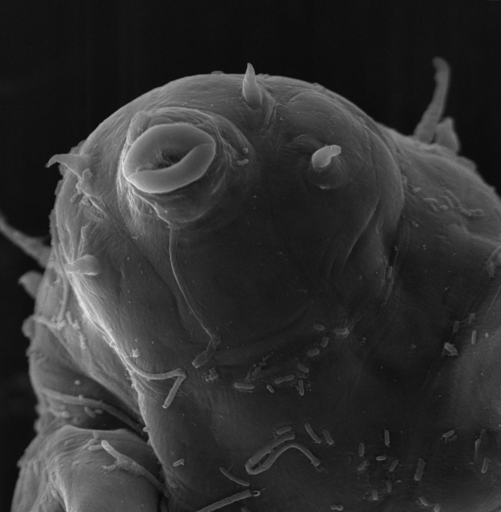 The head of a tardigrade   is magnified 2,300 times. The microscopic animal also known as a water bear can survive in extreme conditions.