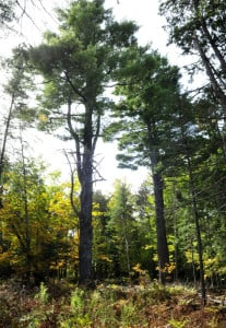 A trail passes between two huge pine trees on 40 acres that former Madison teacher George Jacobs, who died in 1986, left to the town of Madison. Known as Jacobs Pines, the property is supposed to be cared for by the Library Board of Trustees, under the terms of Jacobs' will. The current library board says it feels unequipped to deal with the property, but the Somerset Woods Trustees are willing to take it on.