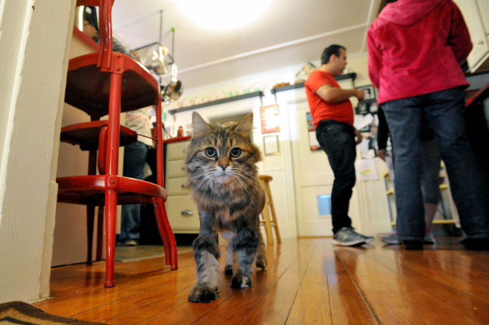 May, a Maine coon cat, walks through his kitchen at Chris Moody's residence on Summer Street in Waterville before a South End Neighborhood Association meeting on Saturday. The meeting included a discussion about a new program that helps low-income residents get health care for pets.