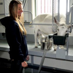 Amy Fredrikson watches her goat Bella eat grain as she is being milked during the Open Creamery event at the family farm in China on Sunday.