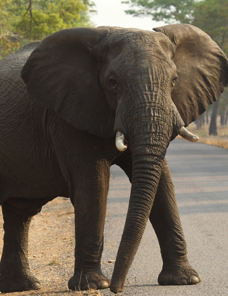 """An elephant crosses a road in Hwange National Park, Zimbabwe. """"Cyanide poisoning is becoming a huge problem here,"""" said conservationist Trevor Lane."""