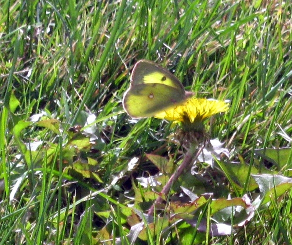 A clouded sulphur butterfly alights on a hawkweed blossom this fall in the Unity park.