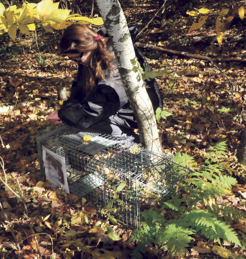Kathy LaCroix checks the bait in a live trap set in the woods near her home in Clinton on Monday. LaCroix is desperately search for her missing cat named Dracula and a tracking dog led her to the site.
