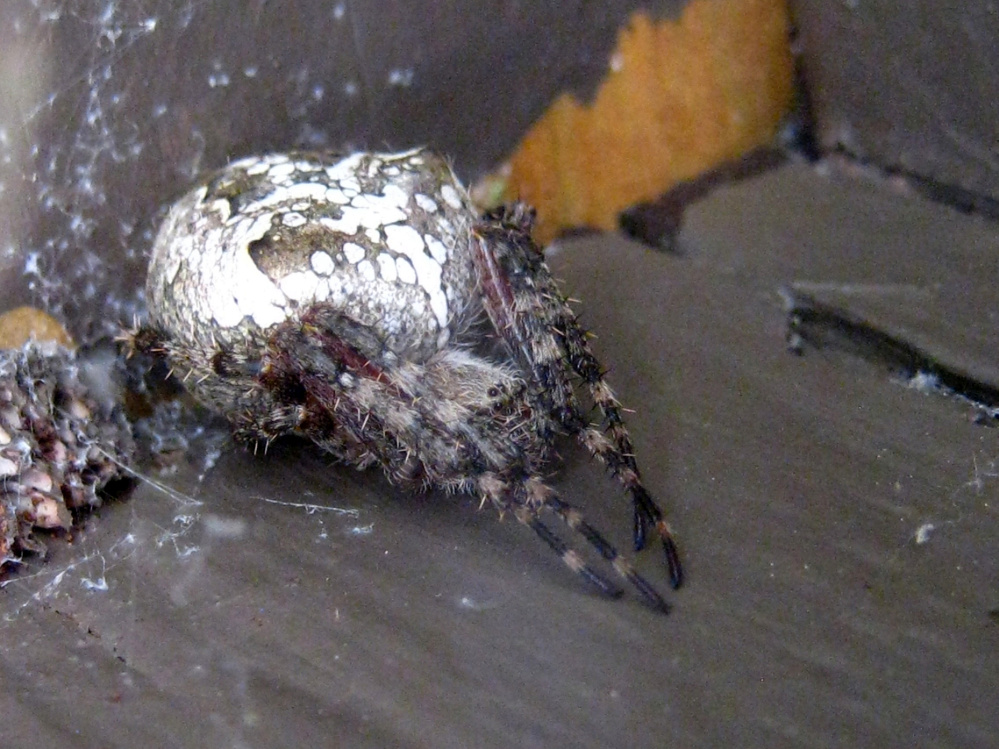 This orb-weaver lived under the railing of the deck in Troy right into October.