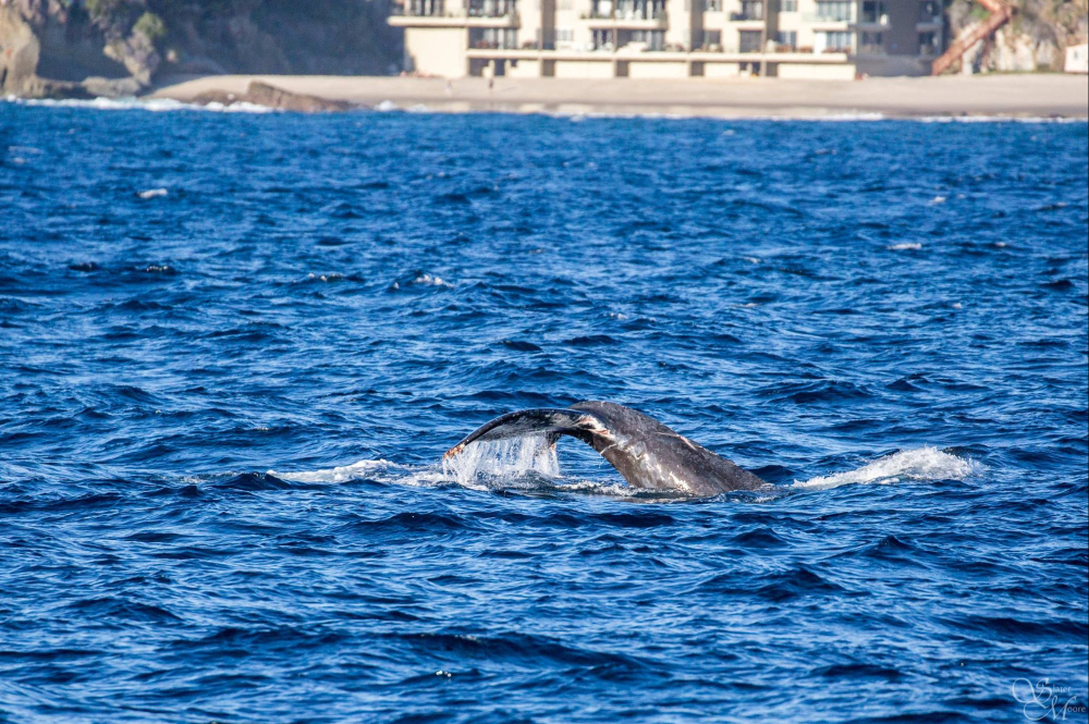 A humpback whale is entangled in more than 100 feet of fishing line off the Southern California coast Friday, as seen during a whale watching trip in Long Beach, Calif. The whale has been moving south along the Southern California coast.
