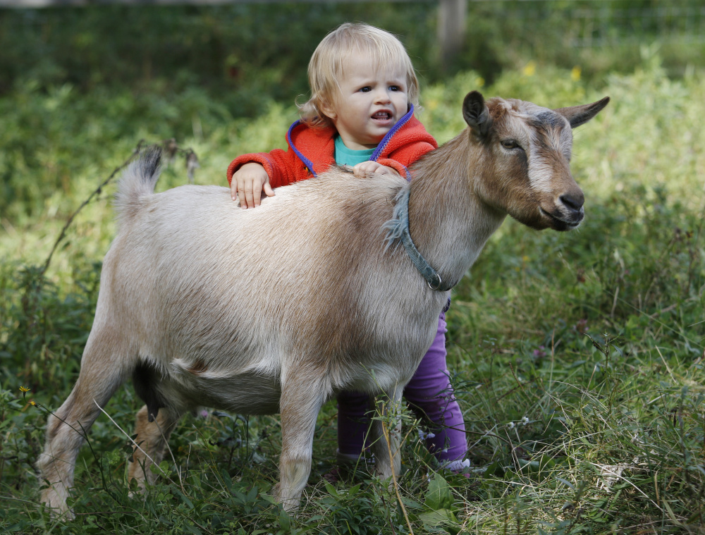 Nell Carbone, 1, pets a Nigerian Dwarf goat at Sunflower Farm Creamery in Cumberland during Maine Open Creamery Day on Sunday. (Photo by Joel Page/Staff Photographer)