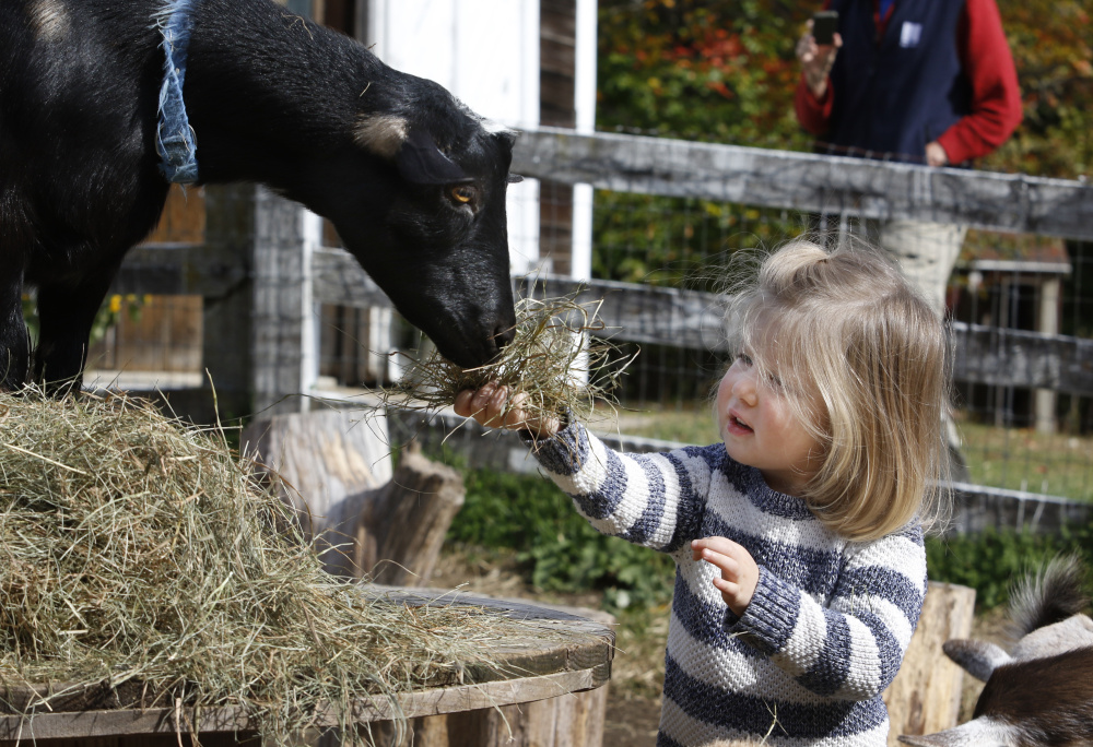 Adelaide Puljo, 2 , offers hay to a Nigerian Dwarf Goat at Sunflower Farm Creamery during Maine Open Creamery Day on Sunday in Cumberland.