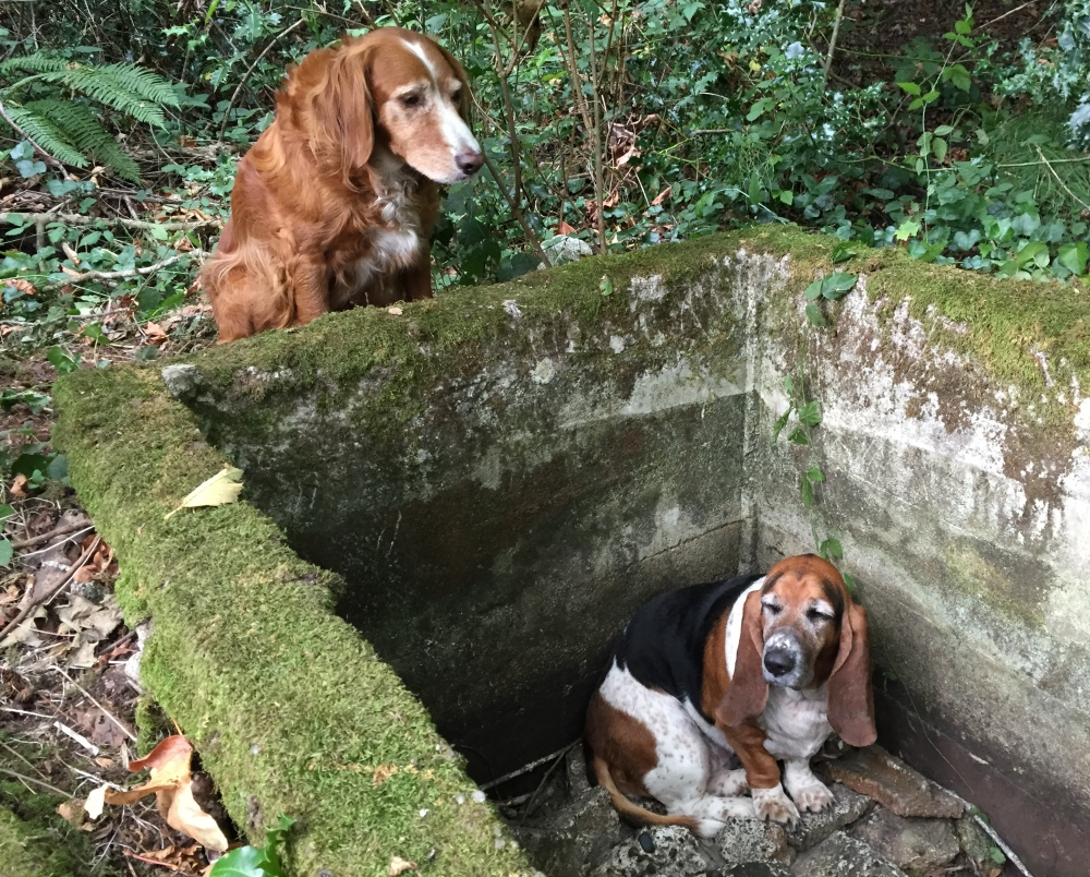 A setter-spaniel mix, Tillie wouldn't abandon her basset hound friend, Phoebe, who fell into a cistern on Vashon Island, Wash. Both dogs now sport GPS collars.