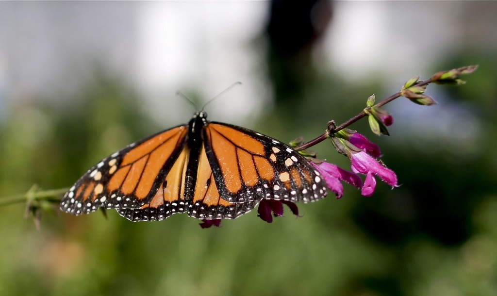 A monarch butterfly perches on a stem in Tom Merriman's butterfly atrium at his nursery in Vista, Calif. Five years ago, Merriman didn't sell milkweed at all; this summer, he sold more than 14,000 plants and is shipping truckloads of seedlings all over California and other bone-dry Western states like Arizona, New Mexico and Utah. The Associated Press