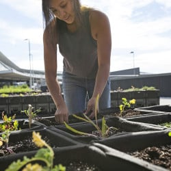 "Katrina Ceguera works at a 24,000-square-foot ""farm"" outside Terminal 5 at John F. Kennedy International Airport in New York. JetBlue eventually would like to serve items grown there in terminal restaurants. Jetblue via AP"