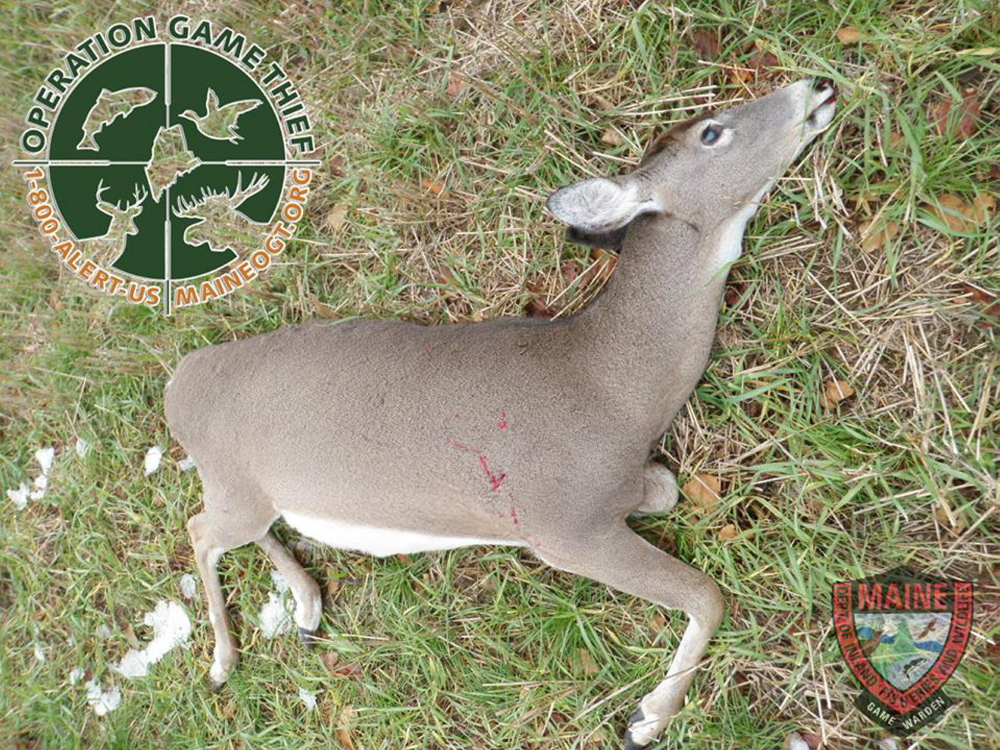 """A photo by the Maine Warden Service shows a deer that was illegally killed in Chesterville on April 22. The doe, pregnant with twin fawns, had been fatally shot in the spine and was found in a field posted """"No Trespassing."""""""