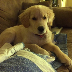 Brewer, a golden retriever puppy, was kicked by a jogger on the Kennebec River Rail Trail between Augusta and Hallowell on Monday, said Amy Craig, the dog's owner.