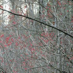 Winterberries off the beaten track at the Unity park this month.