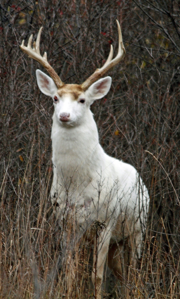 A white buck stands in underbrush at the former Seneca Army Depot in central New York.
