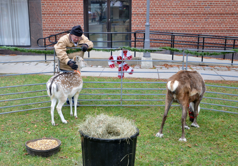 Reindeer graze on the grass of Castonguay Square on Saturday during the Downtown Waterville Open House.