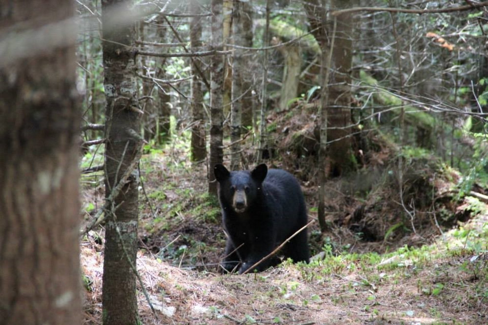 A black bear as photographed by Unity College Bear Study team members in 2013. The school's three-year study shows that bears are returning to the Unity area after more than a century of scarcity.