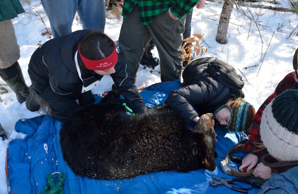 Members of the Unity College Bear Study team work to collar a black bear in February 2014.