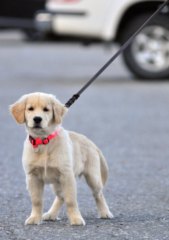 AmyLou Craig's puppy Brewer stands on Nov. 24 in a parking lot near the Kennebec River Rail Trail in Augusta.