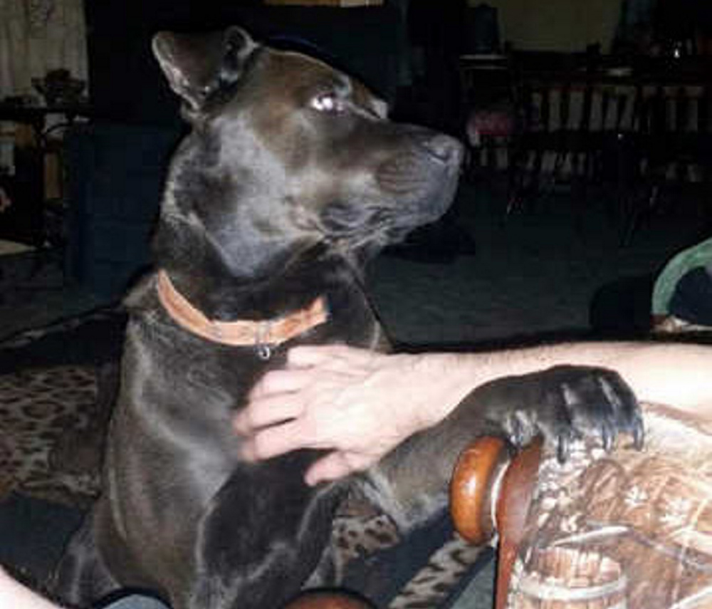 Contributed photo Diesel, the dog injured by a hit and run driver Monday, is seen in happier times in a family photo.