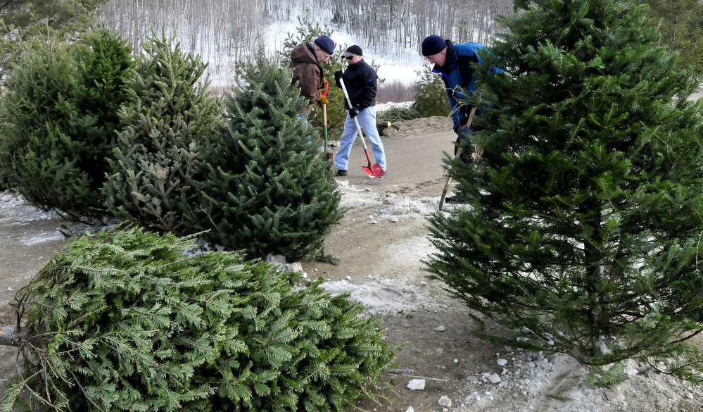 Volunteers set out some of the 200-plus Christmas trees that will form a maze at Saturday's Quarry Road Winter Carnival in Waterville. From left Jeff Taylor, Mark Lessard and Jeff Melanson place the trees in snow.