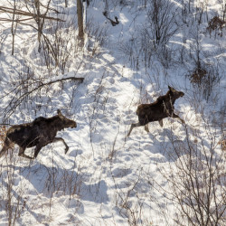 A cow moose and its calf bolt through Greenville woods north of Moosehead Lake in this aerial photo from last week. The animals would soon be wearing radio collars as part of a Maine Department of Inland Fisheries and Wildlife effort to collect biological data on the state's herd.