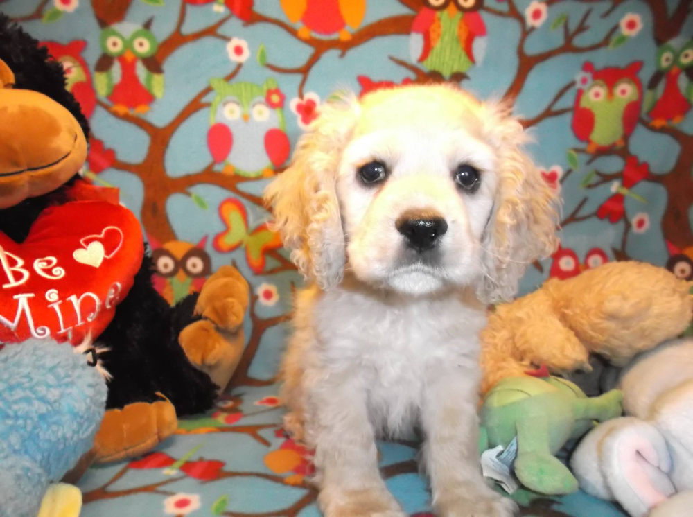 This cockapoo was stolen from Mainely Puppies store in Oxford on Saturday. It has been recovered safe and sound.