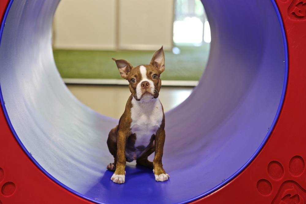 Buster is enrolled in the puppy Montessori program at Bigger Road Veterinary Center for Pet Health and Enrichment in Springboro, Ohio.