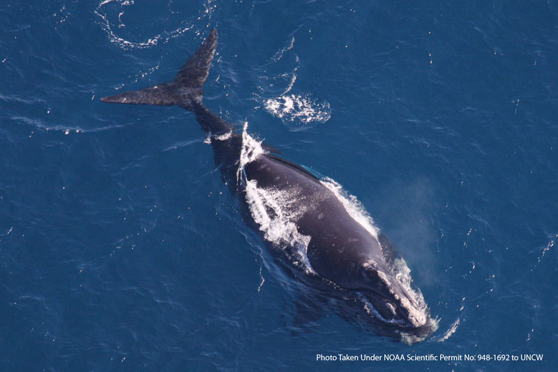 A right whale is seen after giving birth in waters off the coast of northern Florida. The whales use the seas off northern Florida and southern Georgia to give birth to their calves before their migration to the Gulf of Maine and the North Atlantic. 2010 photo provided by the University of North Carolina-Wilmington Marine Mammal Department