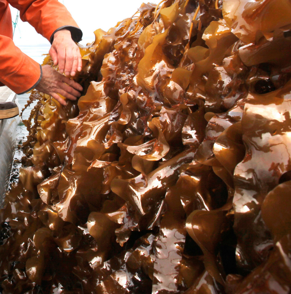 Kelp farming is among the potential businesses that could benefit from federal grant money to support entrepreneurial programs in Maine.