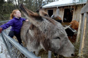Kelly Tessier, 9, brushes her donkey, Martha, during afternoon chores at the family's farm in Skowhegan on Wednesday. The Tessier family's farm sells everything from soap to meat to coffee, and the two Tessier daughters are part of the business.
