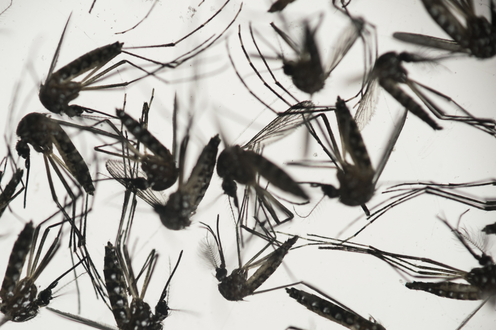 """Aedes aegypti mosquitoes, shown in a petri dish at a lab, proliferate in """"artificially-human-made habitats"""" such as tires and cans, a Yale University professor says."""