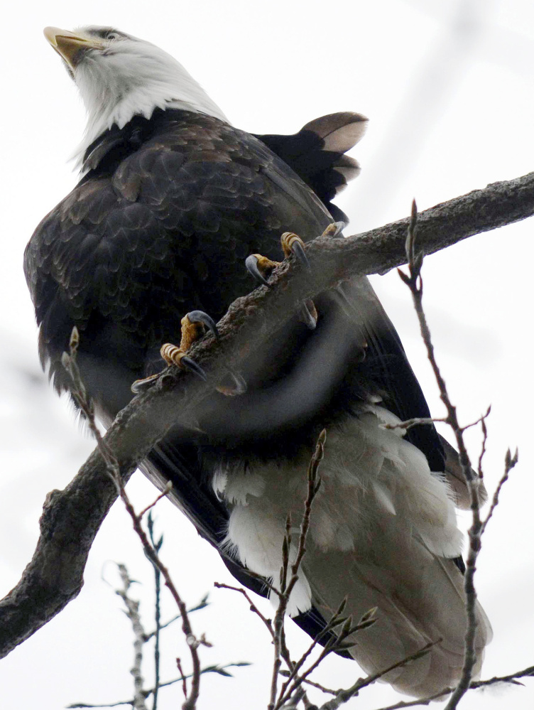 Bald eagles have made a huge comeback nationwide and they've been spotted along the Charles River.