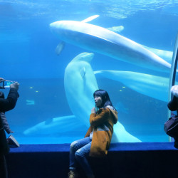 Intensely social animals, belugas can swim up to 100 miles a day in the wild, but in captivity at Grandview Mall Ocean World in Guangzhou, China, the mammals are detained in shallow, featureless tanks.