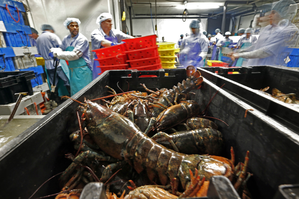 FILE - In this June 20, 2014, file photo, lobsters are processed at the Sea Hag Seafood plant in Tenants Harbor, Maine. America's lobster industry is sending less of its catch to Canada as processing grows in New England, and the growth could have widespread ramifications for consumers who are demanding more lobster products every year.
