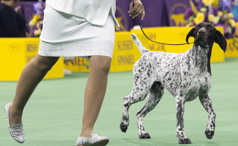 CJ, a German shorthaired pointer, struts around the ring during the sporting group competition at the Westminster Kennel Club dog show on Tuesday.