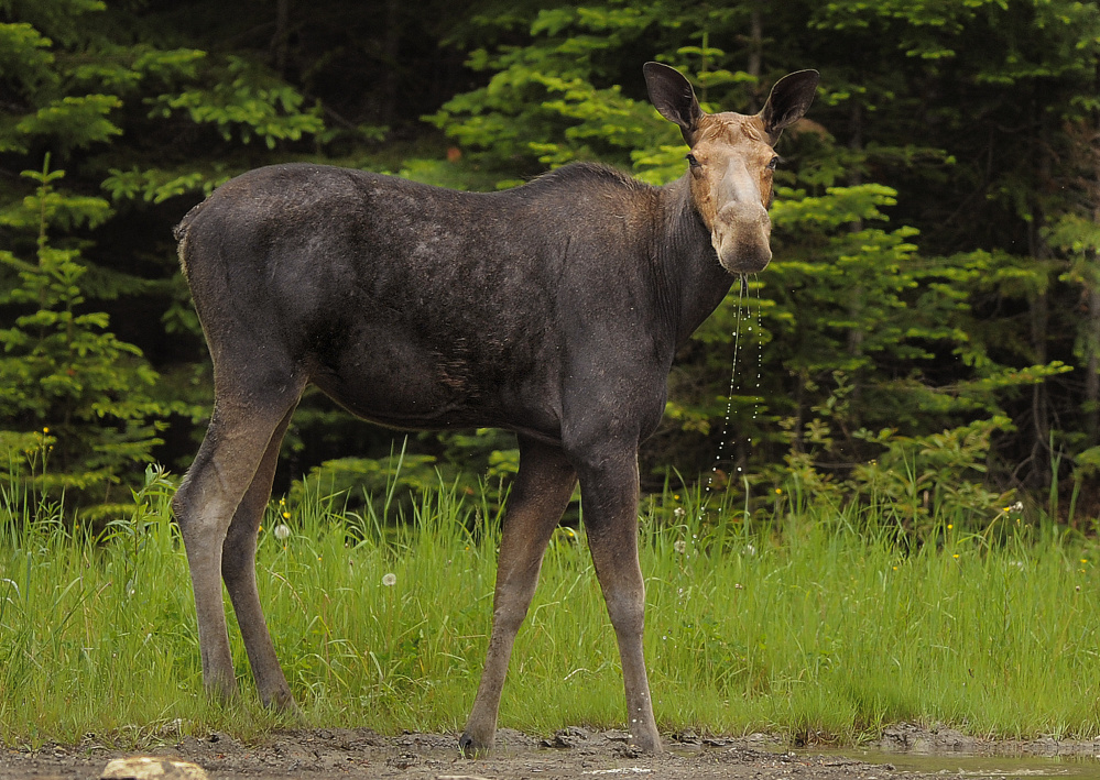 A moose pauses while drinking from a puddle on Route 11 near Patten in Penobscot County. Biologists estimate Maine's moose population at 60,000 to 70,000, more than any other state in the contiguous U.S.