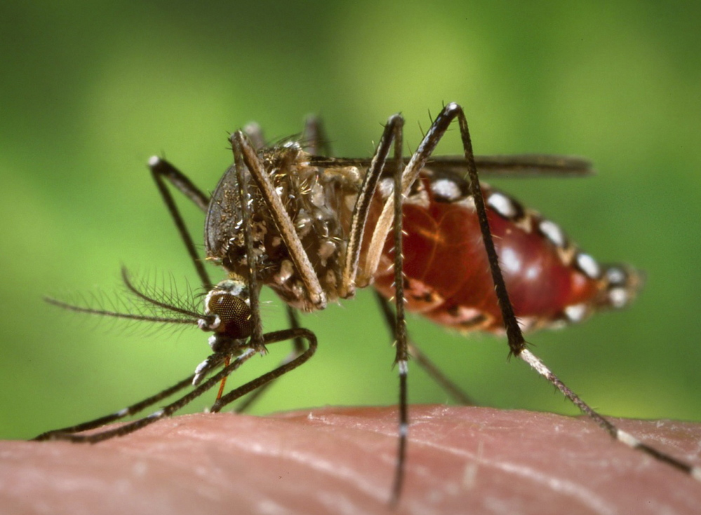 In addition to the Zika virus, the Aedes aegypti mosquito carries dengue fever and yellow fever.